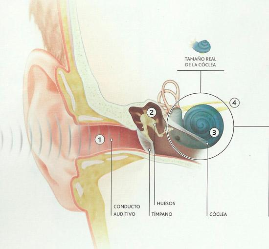 Esquema del oído