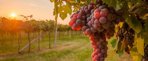 . Uvas rojas y frutos del bosque